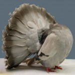fantail-pigeon-silver_barred